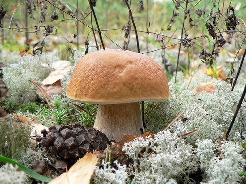 грибы беленький