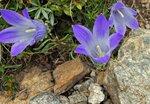 Цветы Приэльбрусья