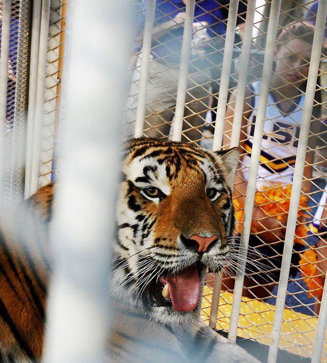 Живые талисманы в студенческом спорте / NCAA Top Real Animal Mascots - Mike VI / LSU