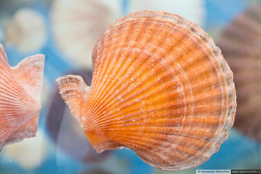 Оранжевая раковина моллюска в музее ракушек Корфу