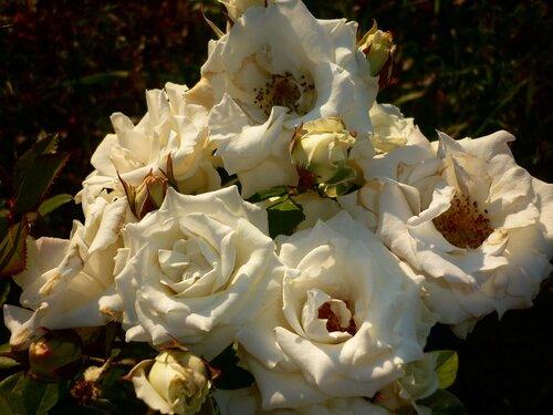 букет роз белых