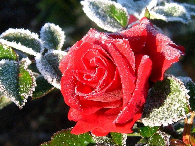 Как малиновые костры эти розы в снегу горят