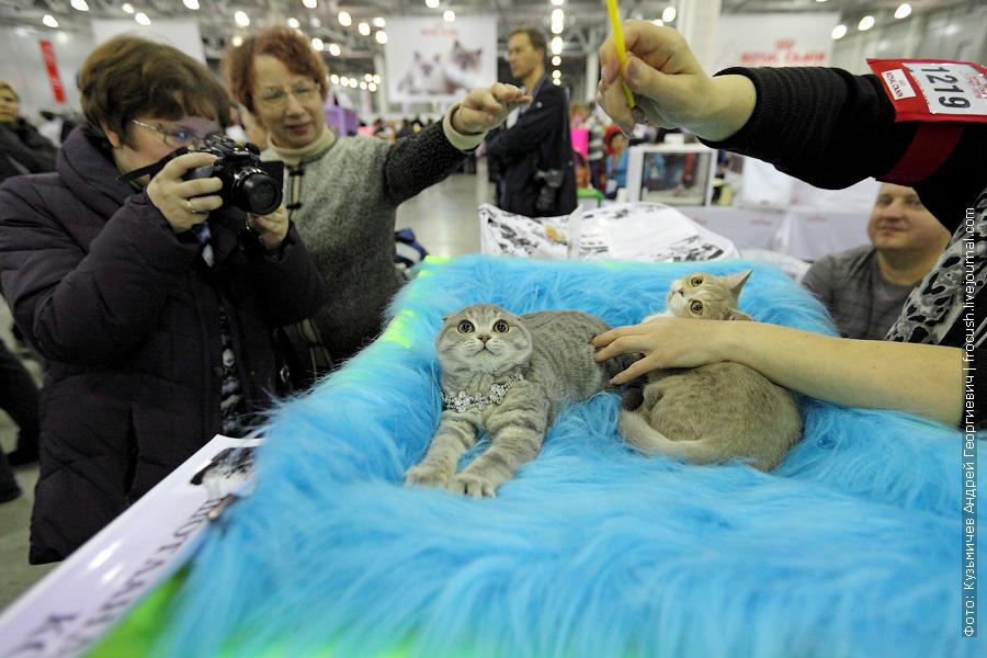 Котята. Скоттиш фолд и Скоттиш страйт фотографии выставка кошек