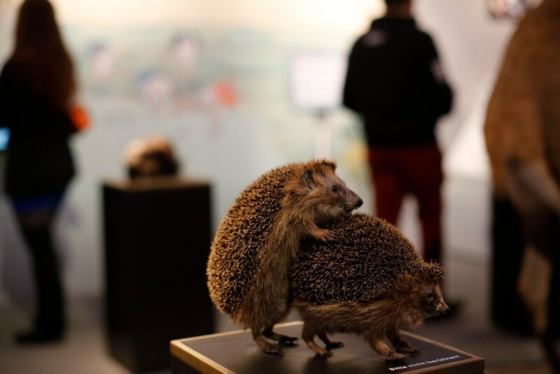 Stuffed copulating hedgehogs are displayed at exhibition