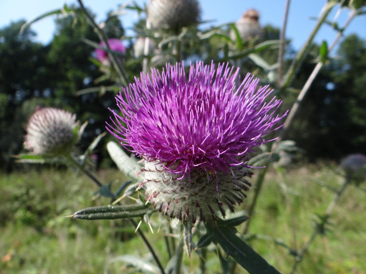 Бодяк польский (Cirsium polonicum). Автор фото: Привалова Марина