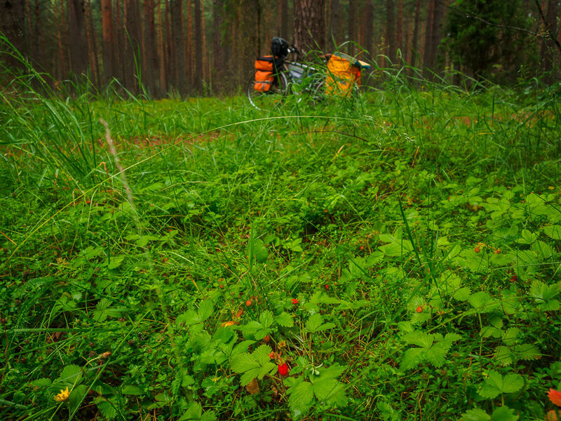 В лесу поспевает земляника.
