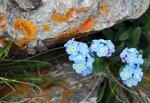 Цветы Приэльбрусья. Незабудки