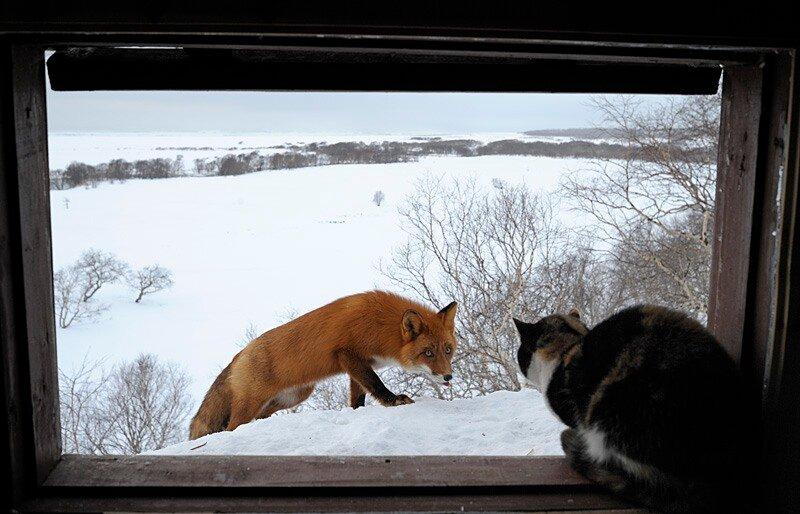 Моя кошка Рыська ревностно охраняет избушку от лис.