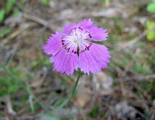 Гвоздика-травянка
