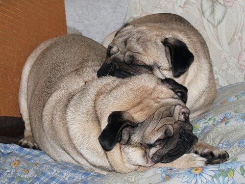 Спящие мопсы