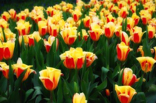 тюльпаны расцвели