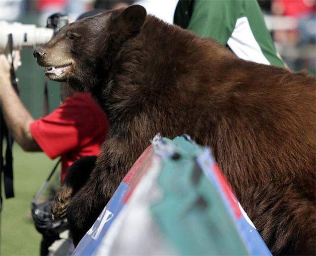 Живые талисманы в студенческом спорте / NCAA Top Real Animal Mascots - Lady / Baylor