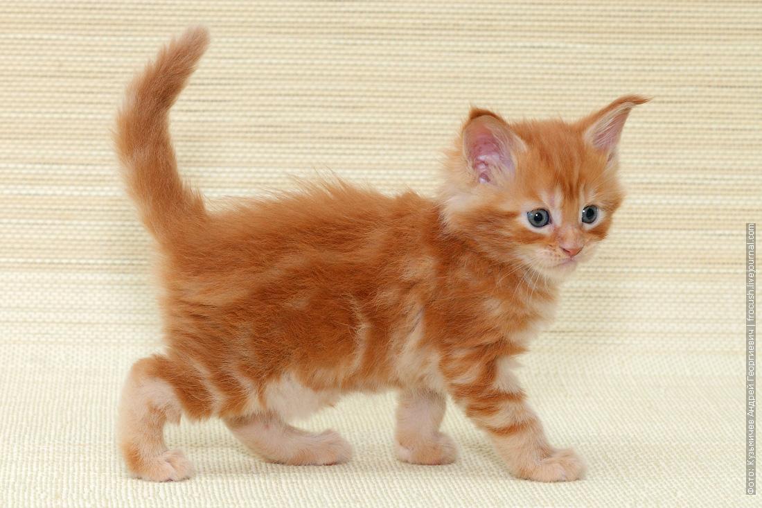 красный котенок Мейн-кун