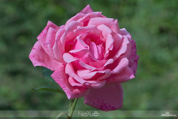 """Я люблю все цветы, часть 67. Роза """"Paris Charm""""."""