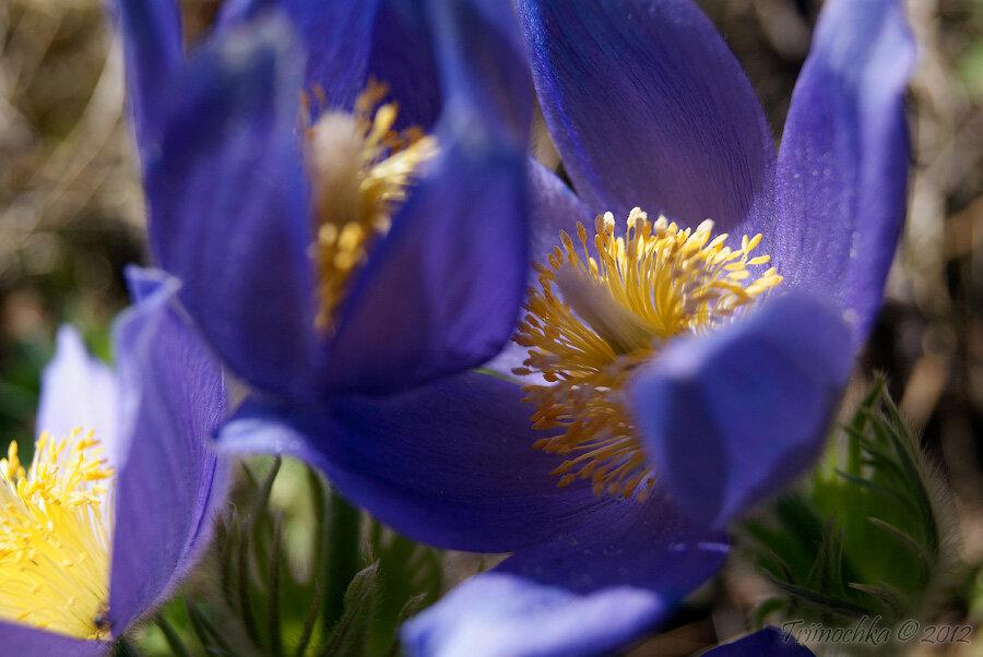 Фото первоцвет весенний
