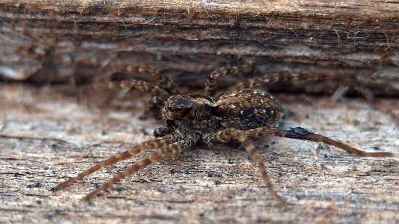 мохнатый паук 4