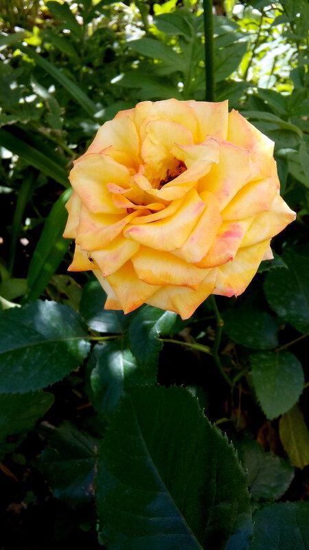 Роза-13.jpg