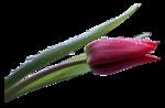 846 - tulipan - LB TUBES.png