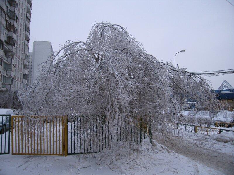 Деревья склонились до земли под тяжестью налипшего льда