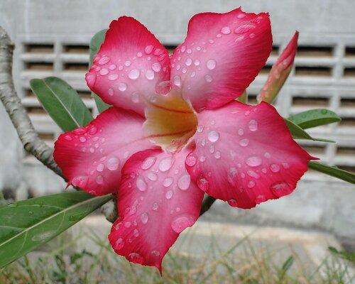 Лаосское название цветка - СОНСОМ