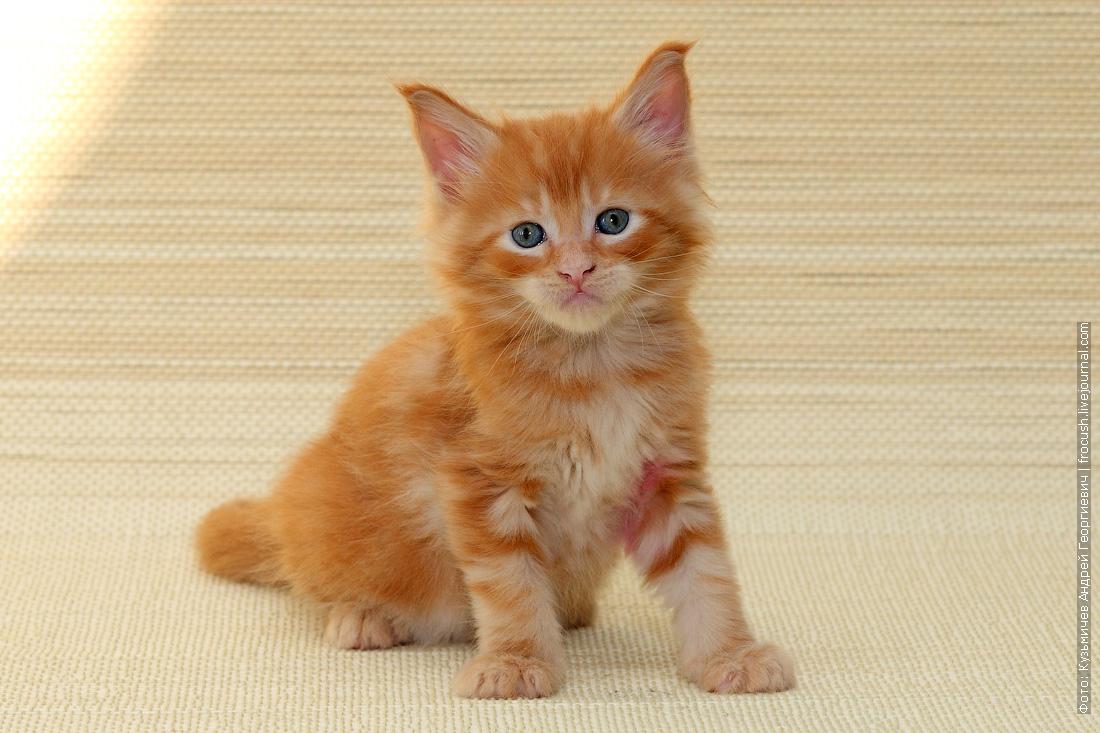 в Москве купить котенок Мейн-кун