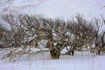 Каменная берёза. Снегу под деревом около 2х метров. .JPG