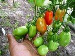 Помидор, томат,  сорт San Marzano (Сан Марзано)