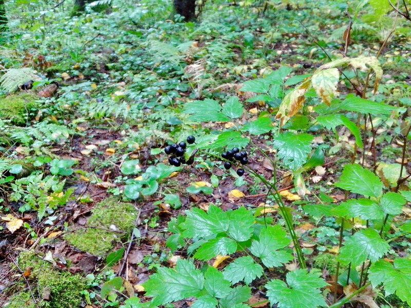Черные ягоды в лесу