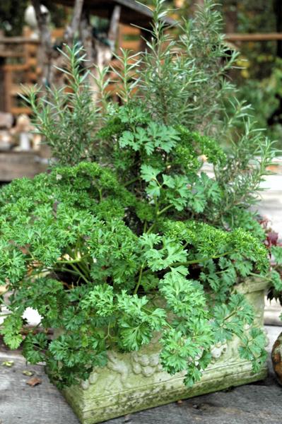 Сеем петрушку — 10 советов по выращиванию петрушки