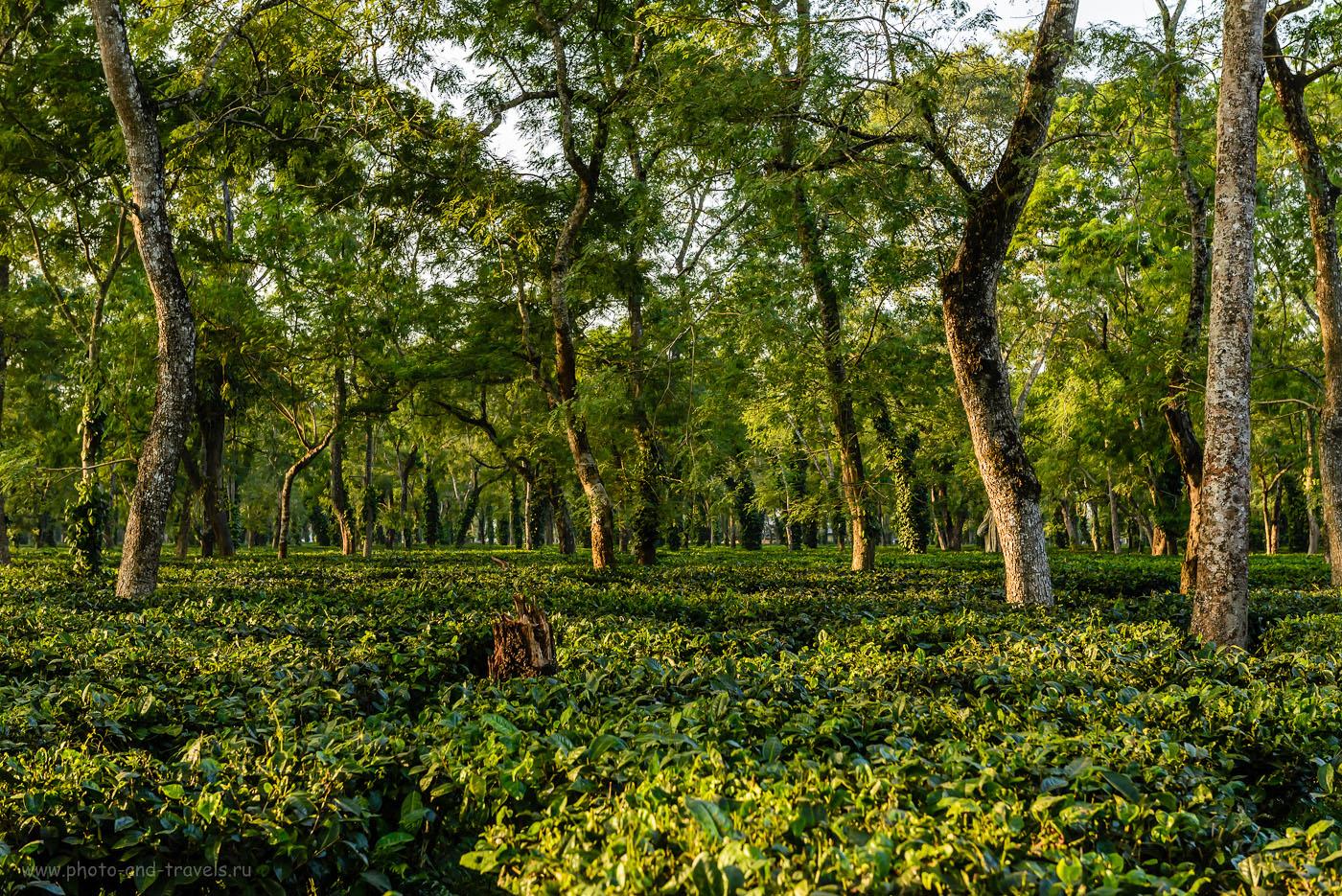 Фотография 2. Чайная плантация в окрестностях заповедника Kaziranga National Park. Отзывы туристов о поездке на слоновье сафари с носорогами. По Индии дикарями. 1/125, -0.33, 7.1, 1250, 62. Объектив Nikon 24-70/2.8.