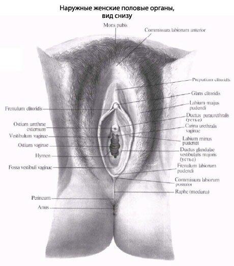 Длина больших половых губ достигает 8 см, ширина равна 2-3 см