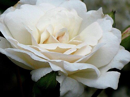 Белое восхищение