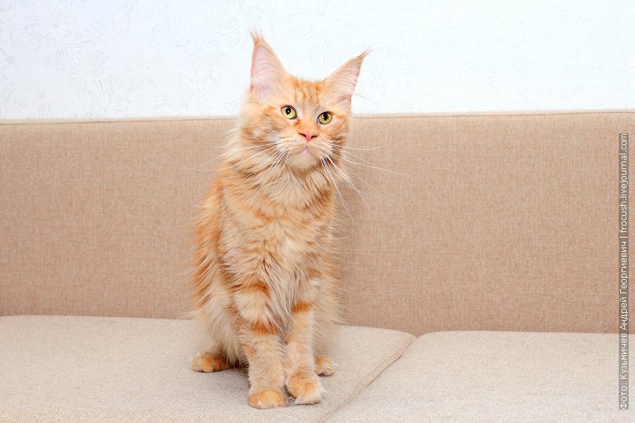 рыжая кошка Мейн-кун Москва