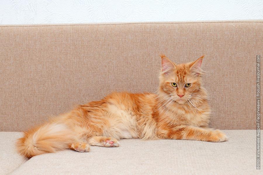 рыжая кошка Мейн-кун