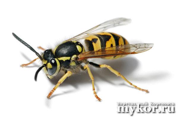 Осы и пчелы Vespula Germanica - Apis Mellifera фото