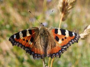 c:кирпично-красные,l: переднего крыла до 24 мм,s:бабочки,s:чешуекрылые,s:дневные бабочки