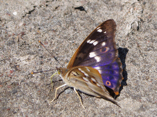 Альбом:  Мир под ногами/  Чешуекрылые - Lepidoptera / Nymphalidae - Нимфы Автор фото: Владимир Брюхов