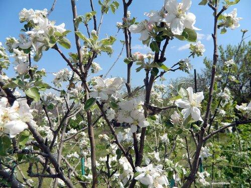Весна. И всё цветёт
