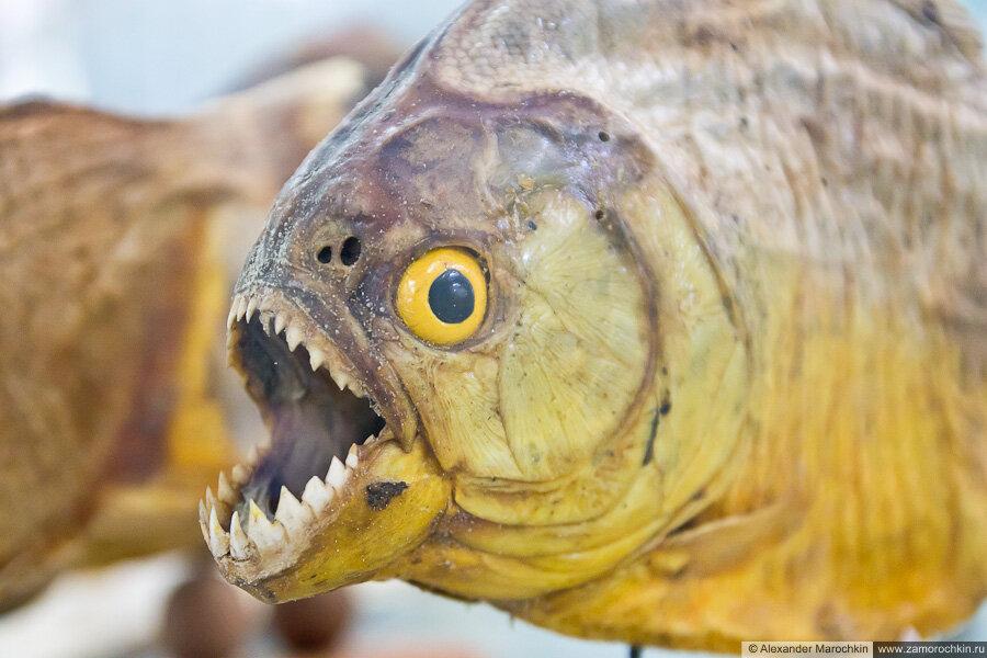 Пиранья в музее ракушек Корфу