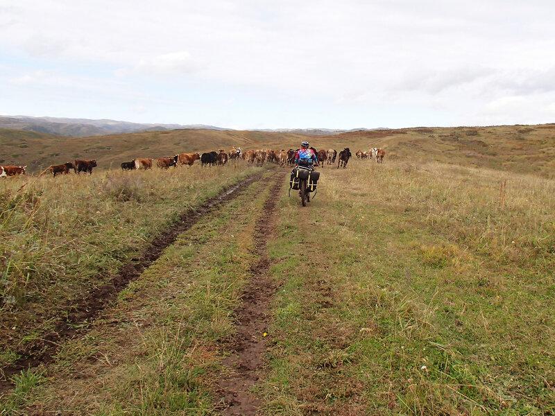 коровы, Нарымский хребет
