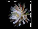 0259-flower-LB TUBES.png