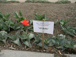 Тюльпан Грейга, сорт Али Баба, Симферополь, Ботанический сад ТНУ, 13 апреля 2011