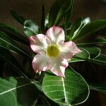 Адениум - пустынная роза.