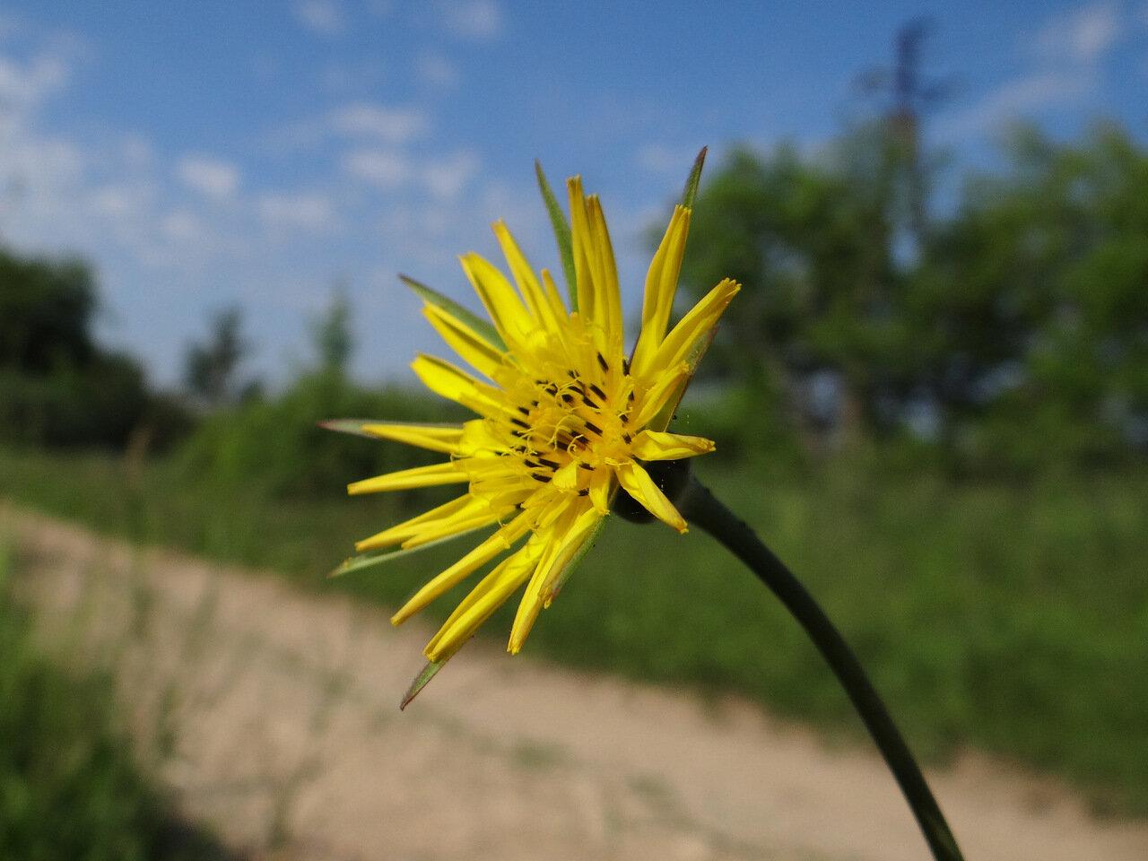 Козлобородник луговой (Tragopogon pratensis). Автор фото: Привалова Марина