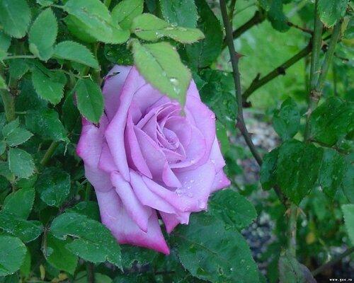 Среди зелени - сиреневая роза открытка поздравление картинка