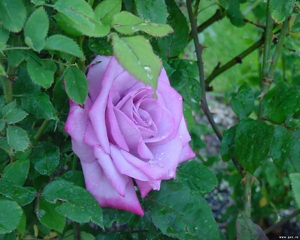 Среди зелени - сиреневая роза
