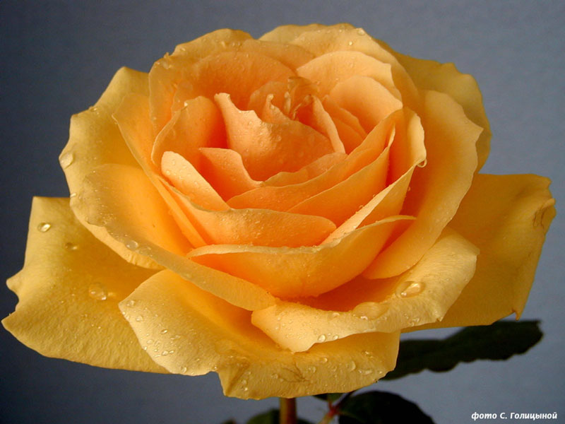 Прекрасная чайная роза