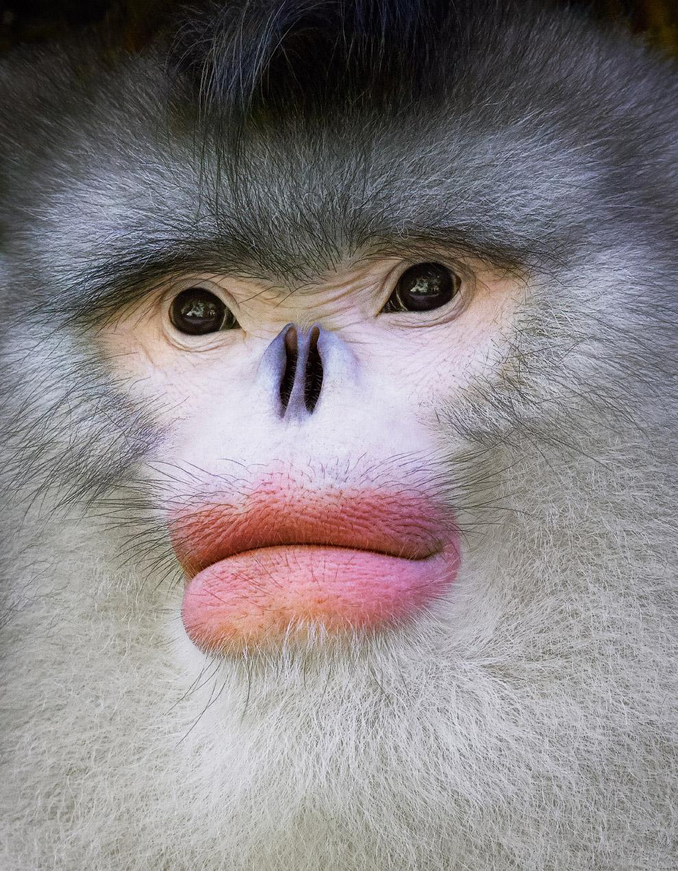 15. Носач. Распространён исключительно на острове Борнео, где населяет прибрежные регионы и долины.
