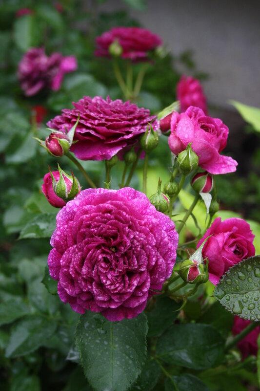 Роза флорибунда Пурпл Иден (Purple Eden ) Carruth США, 2001