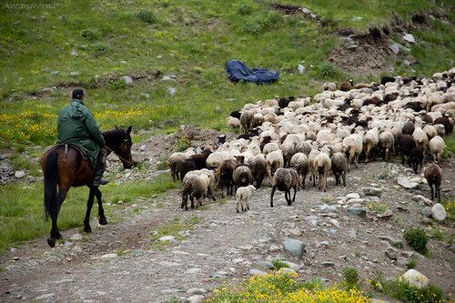 стада идут на летние высокогорные  пастбища